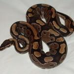 701px-Ball_python_lucy